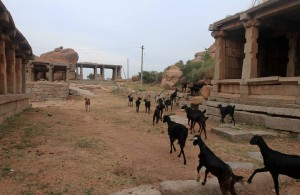 Herd of goats passing through ruins in Hampi.