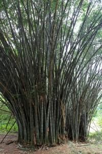 Giant Bamboo.