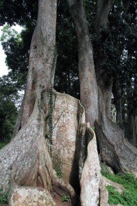 Tree with tall, thin buttress roots.