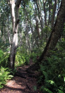 Trail through the red mahogany trees in the Jozani Forest.