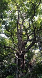 Strangler ficus tree.