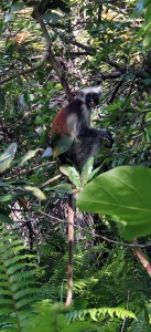Red colubus monkey.