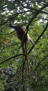 Another red colubus monkey hanging out in a tree.