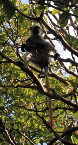 Yet another red colobus monkey.