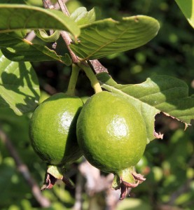 Guava fruit.