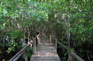 Boardwalk through the mangrove forest.