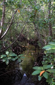 The mangrove forest.
