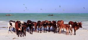 Cattle enjoying the beach near Paje.