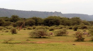 Zebras and giraffes.