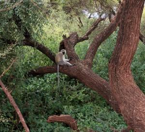 Velvet monkey in a tree.