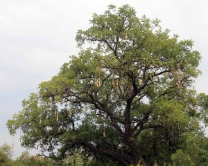 Sausage tree (Kigelia).