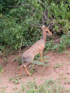 Dik-dik (a small antelope in the genus Madoqua).