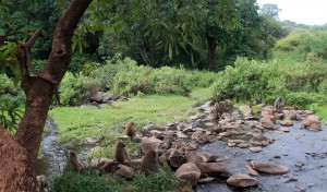 Baboons by a roadside stream.