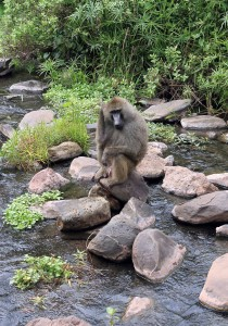 Closeup of a male baboon sitting on a rock.
