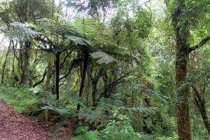 Cyathea ferns along the trail through the rainforest.