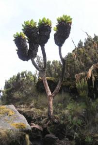 Giant groundsel (senecio kilimanjari).