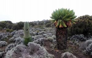 Giant lobelia deckenii (left) and giant groundsel (right).