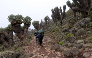 Porters trekking through a forest of giant groundsels.