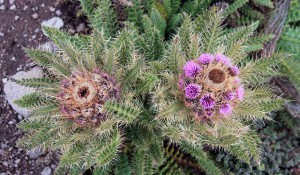 One set of flowers on a thistle plant living, the other dying.