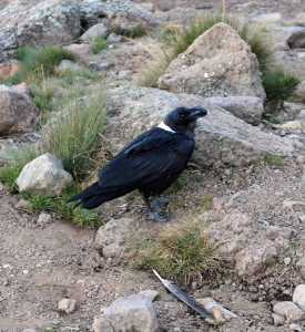 White-necked raven.