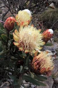 Protea kilimandscharica.