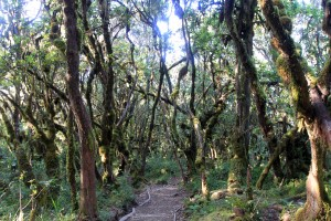 Trail through the mossy forest, on the way to Mweka Gate.
