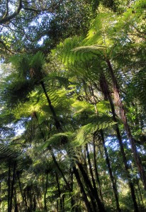 Very tall cyathea ferns along the trail.