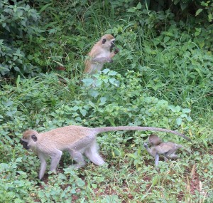 Velvet monkeys.