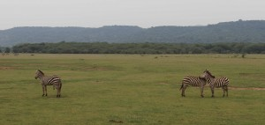 Zebras on the plains; the two together are keeping a 360-degree lookout for predators.