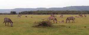 More Zebras in the open fields by Lake Manyara.