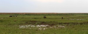 Six hippos in the distance.