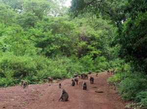 Baboons coming out on to the road.