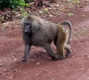 Closeup of a baboon.