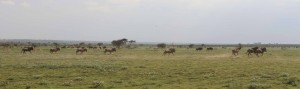 Wildebeests taking part in their great migration.