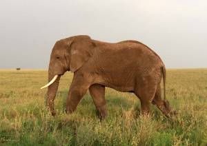 Elephant in the Serengeti.