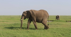 Elephant with a dopey look walking by.