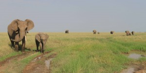 More elephants in the Serengeti.