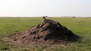 Cheetah laying on a termite mound.