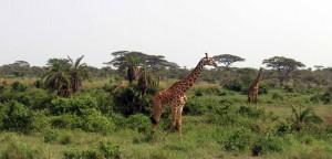 Four giraffes.