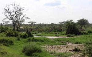 Nile crocodile by the water.