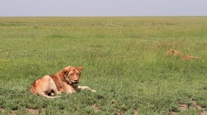 Male lion laying in the grass.