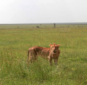Lioness taking an interest in us.