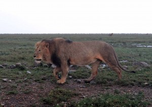 Male lion walking by.