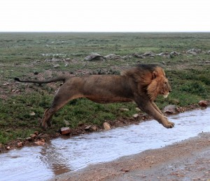 A different male lion leaping over the water along the road.