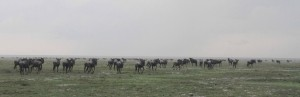 """The """"Great Wildebeest Migration"""" - one of the """"Seven Wonders of Africa""""."""