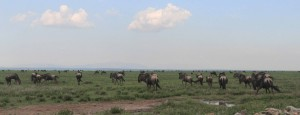 More of the wildebeest migration.