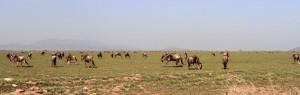 Wildebeests grazing.