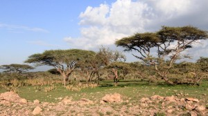 Trees and plants along the road up to the hilltop campsite in Ngorongoro.