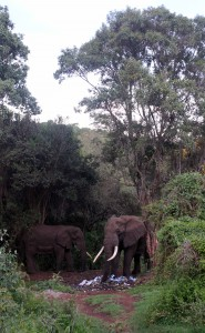 Elephants feeding on trash at the hilltop campsite in Ngorongoro.