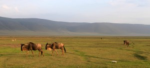 Wildebeests inside Ngorongoro Crater.